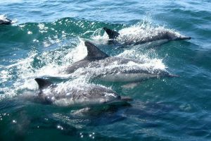 dolphins-327051_1920